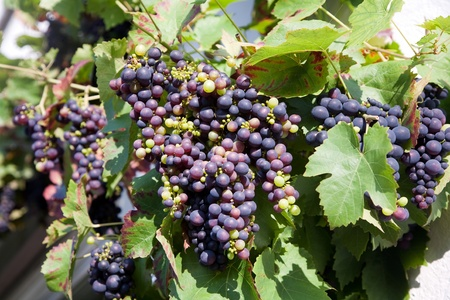 Grapes prosper well at the housewall because of the sunshine and the warmness photo