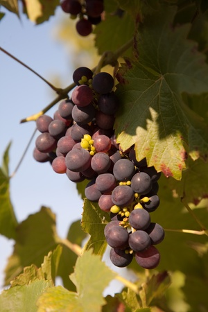 warmness: Grapes prosper well at the housewall because of the sunshine and the warmness