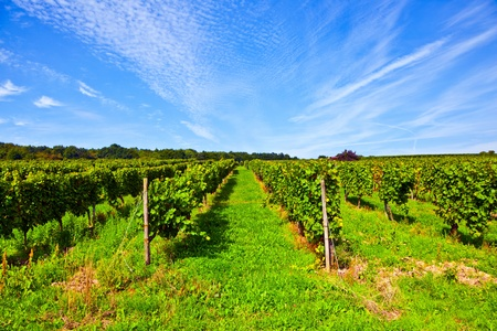 cluster of white grapes in the vineyard in indian summer Stock Photo