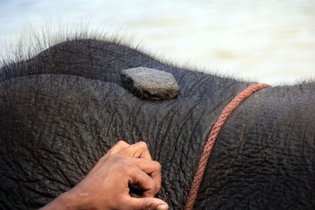 tusk: close up of tusk of indian elefant in the camp