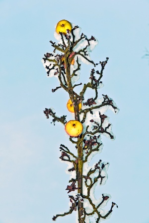 ripe apples are hanging on a branch covered with first snow photo