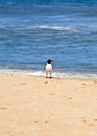 outerbanks: seagull standing at the beach Stock Photo