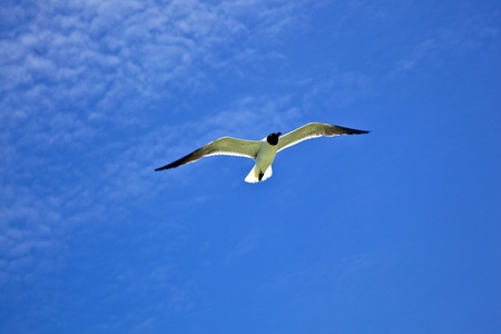 outerbanks: seagull is flying
