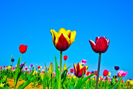 Spring field with blooming colorful tulips Stock Photo - 9374893