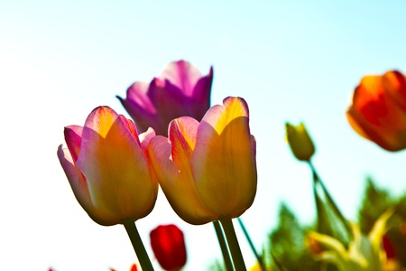 Spring field with blooming colorful tulips Stock Photo - 9374381