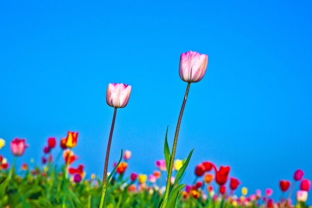 Spring field with blooming colorful tulips Stock Photo - 9375307