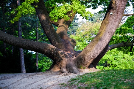 fascinating: stem of oak trees in fascinating light in a park in Vienna