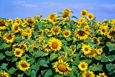 sunflowers in the sunflowerfield in bright sun
