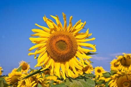 fleur de tournesol dans le sunflowerfield au soleil éclatant