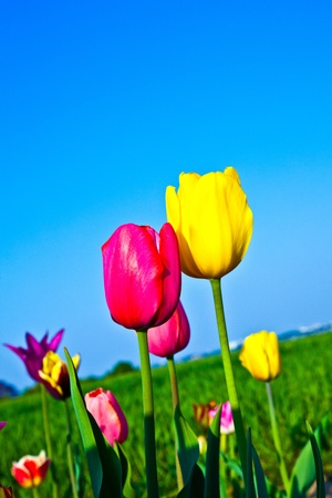 Spring field with blooming colorful tulips Stock Photo - 9384699