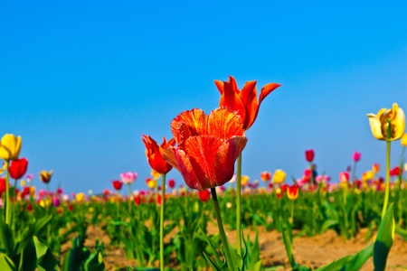 Spring field with blooming colorful tulips Stock Photo - 9384690