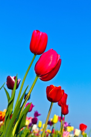Spring field with blooming colorful tulips Stock Photo - 9384678