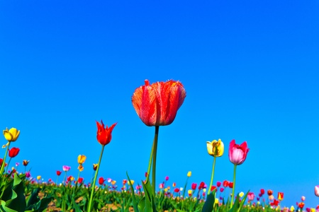 Spring field with blooming colorful tulips Stock Photo - 9379549