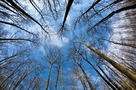armonia: coronas de �rbol en primavera sin hojas en el cielo azul profundo