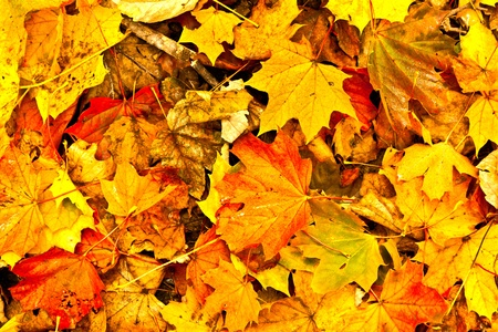 Background group autumn  leaves in Indian Summer photo