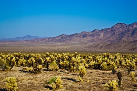 joshua tree national park: beautiful Cholla Cactus Garden in Joshua Treer national park in afternoon sun