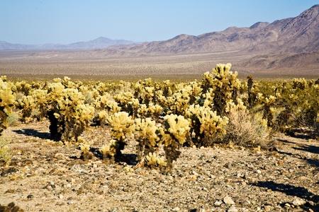 beautiful Cholla Cactus Garden in Joshua Treer national park in afternoon sun Stock Photo - 9396795