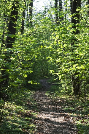empty trail thru narrow trees in forest photo