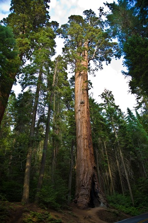 Sequoia national Park with old huge Sequoia trees like redwoods in beautiful landscape photo