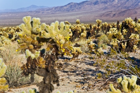 beautiful Cholla Cactus Garden in Joshua Treer national park in afternoon sun photo