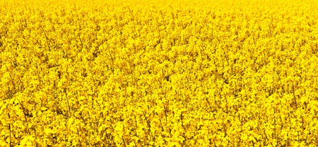 rapeoil: beautiful rape fields in spring  with blooming flowers