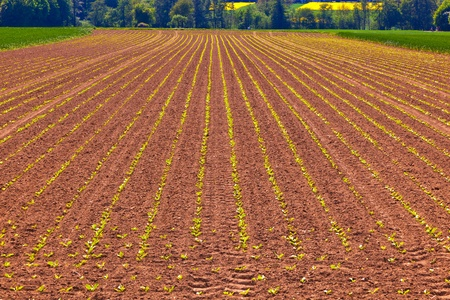 green growing corn in field in springtime Stock Photo - 9470204