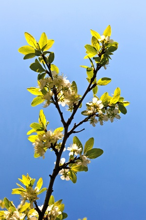 blooming tree in springtime with blue sky Stock Photo - 9583447