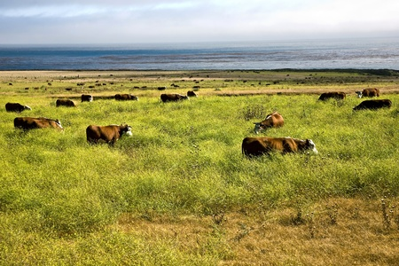big sur: cows graze fresh grass on a meadow in Andrew Molina State park at the pacific ocean
