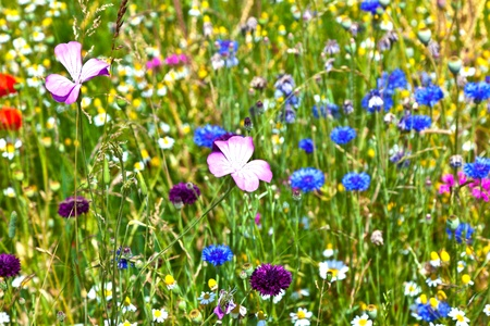 wild botany: beautiful meadow withcolorful  flowers Stock Photo