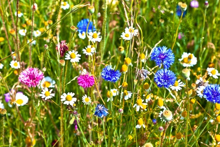 wildflowers: beautiful meadow withcolorful  flowers Stock Photo
