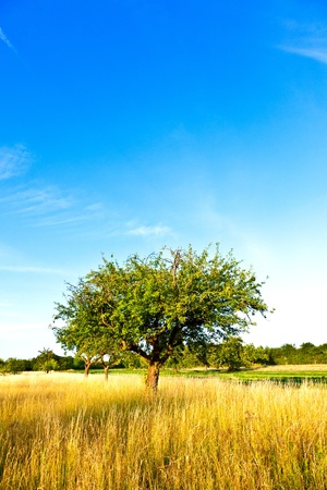 beautiful typical speierling apple tree in meadow for the famous german drink applewine photo