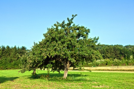 apple trees in summer at the meadow