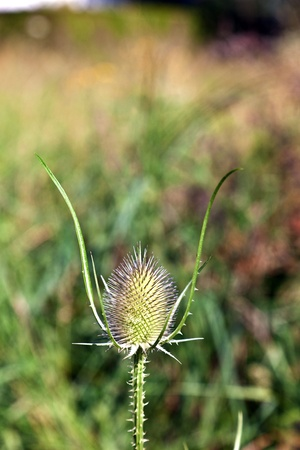 beautiful thistle in the green meadow photo