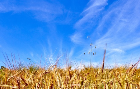 golden corn field with blue sky Stock Photo - 9972765