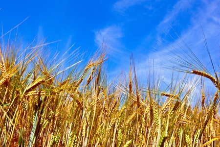 golden corn field with blue sky photo