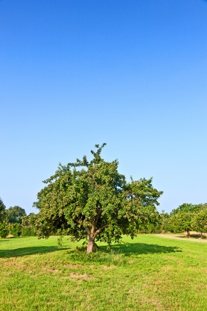 apple trees in summer at the meadow Stock Photo - 9973137