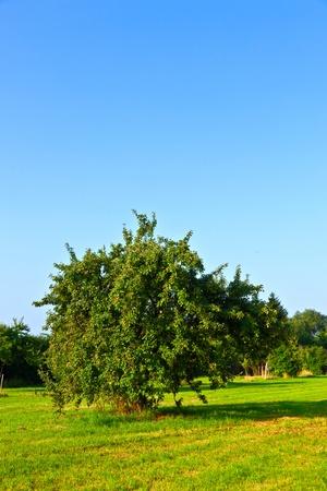 arbol de manzanas: manzanos en verano en la pradera