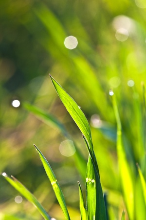 beautiful green grass in detail with dew photo