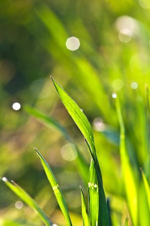 grassy plot: hermosa hierba verde en detalle con Roc�o