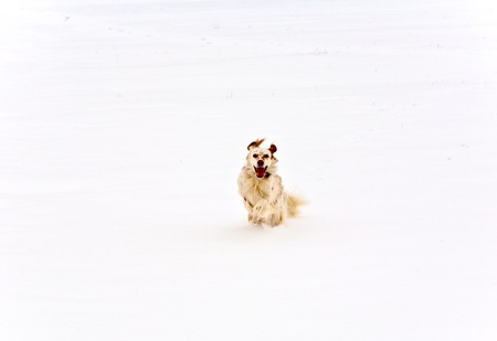 covered fields: dog running on snow covered fields
