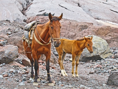horses for transportation goods in the mount Kasbek area,, the holy mountain in the Caucasus photo