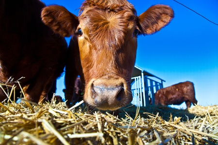 stock breeding: friendly cattle on straw with blue sky Stock Photo