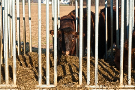 stock breeding: friendly cattle in cage