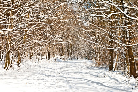 forest in winter with snow photo
