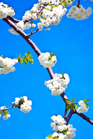 Close-up branch of  white bloom in spring Stock Photo - 10473397