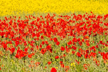 blooming poppy flowers with yellow rape photo