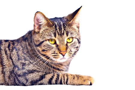 cute tiger cat isolated on white photo