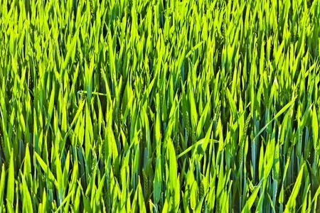 beautiful green corn in harmonic structure photo