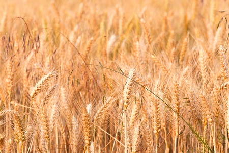 spica of corn in the field in beautiful light Stock Photo - 10567722