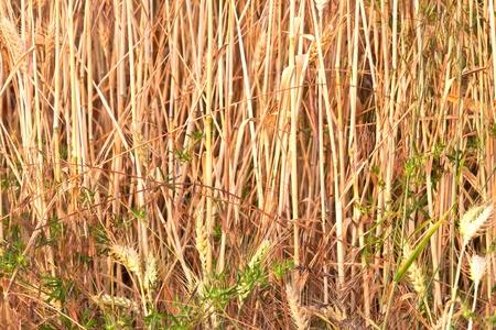 spica: espiga de ma�z en el campo a la luz hermosa
